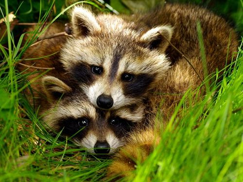 Raccoon-pairs_32055_600x450_large