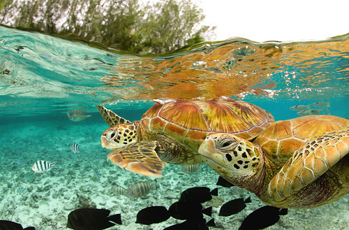 green sea turtles, bora bora picture on VisualizeUs
