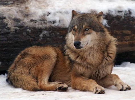 Beautiful-wolf-4_large