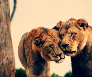 animal lions sweet cute