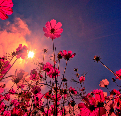 Flowers-pink-pretty-sky-sun-favim.com-47452_large