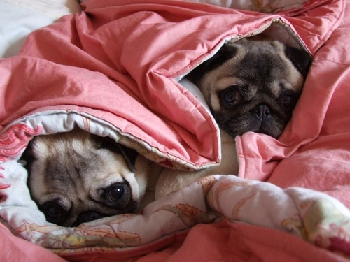 Peace ☮ Love ♥ Pugs / Not getting up right now...