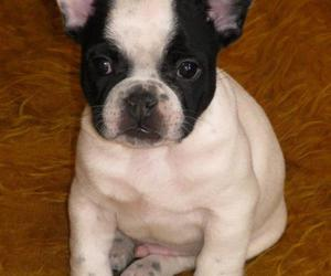 bao french bulldog puppy