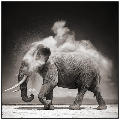 Black_white_elephant_animal_black_and_white_dust_photo-f3f30e653ed3391360c22898b6eee8b2_h_large