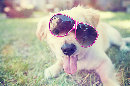 Cute_dog_funny_sunglasses_photography_animals-593ef6a799f9b4d1c285c47bf0b8617d_h_large