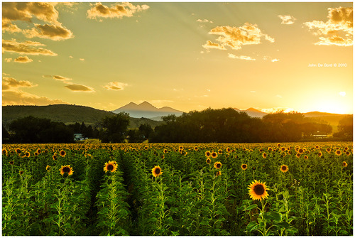 A_sunflower_paradise_by_kkart_large