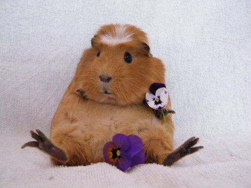 Guinea-pig10_large