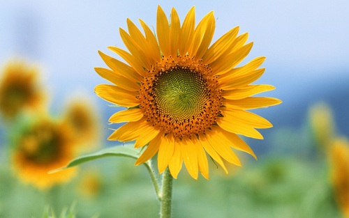 A-sunflower_1920x1200_large