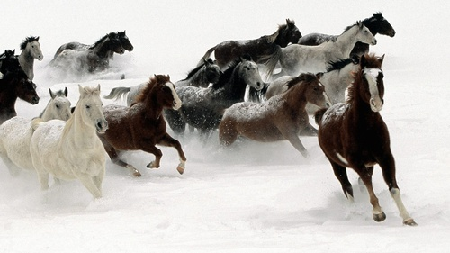 Snow_band_of_wild_horses_running_in_1080p_quality-1920x1080_large