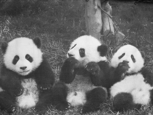 Black-and-white-cute-pandas-photography-favim.com-488031_large