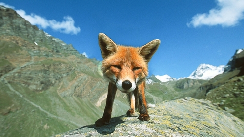 Mountain animals pictures - photo#12