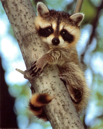 Bill-ivy-baby-raccoon_large