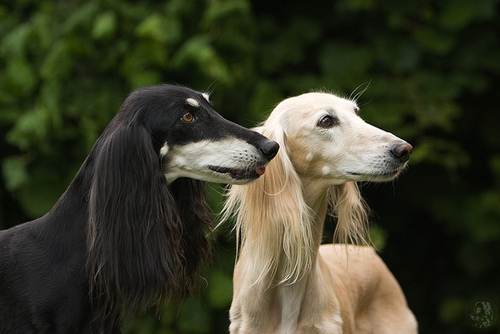 Saluki girls | Flickr - Photo Sharing!