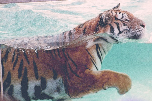 Cats_nature_pool_swimming_tiger-88cec20ae937cc2ce638364768522700_h_large