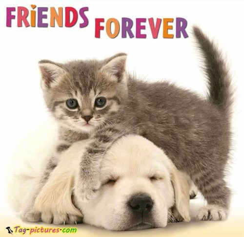 Friends-forever-cat-with-dog-picture_large