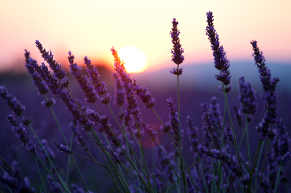 Lavender_20flowers_20sunset_large