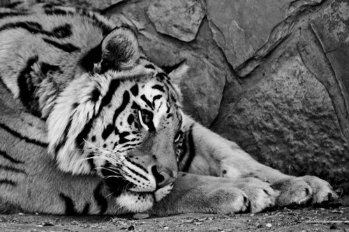 Tigre_by_tithta_large