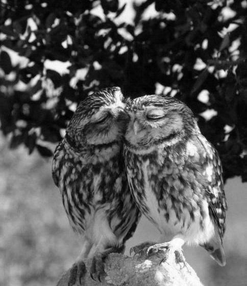 Corujas-love-owl-owl-always-love-you-liam-favim.com-524673_large