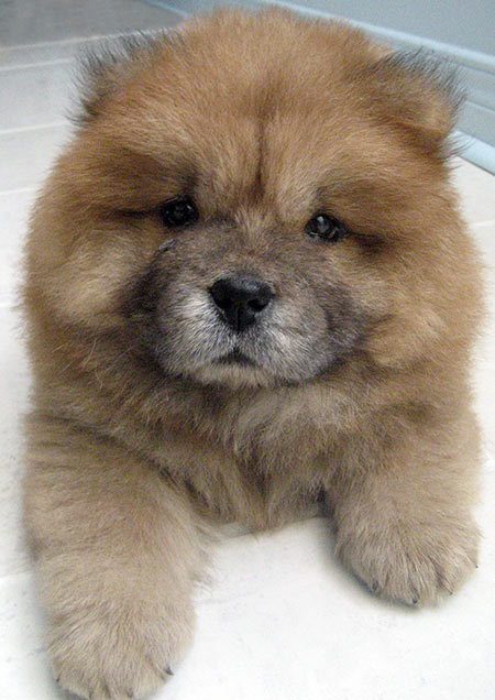 doydoy chowchow03.jpg w450 large Google  E  http://cdn www.dailypuppy.com/media/dogs/anonymous/doydoy chowchow03.jpg w450.jpg