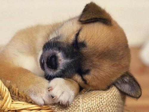 Fundo-de-Tela-de--cachorrinhos dormindo_large