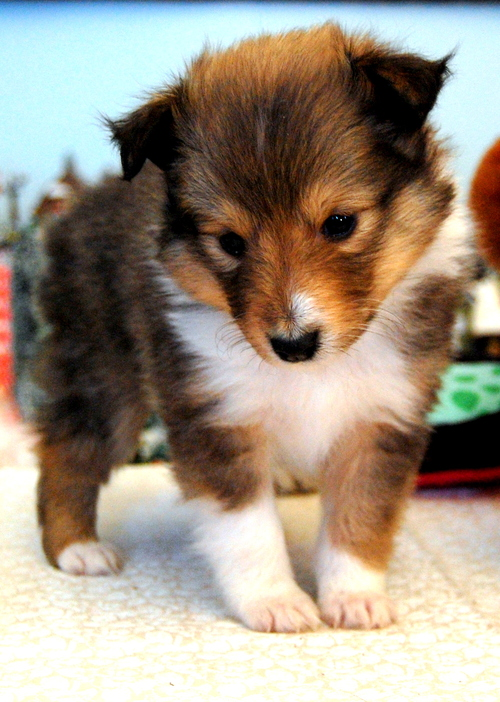 Sheltie_puppy_by_fewofmany_large