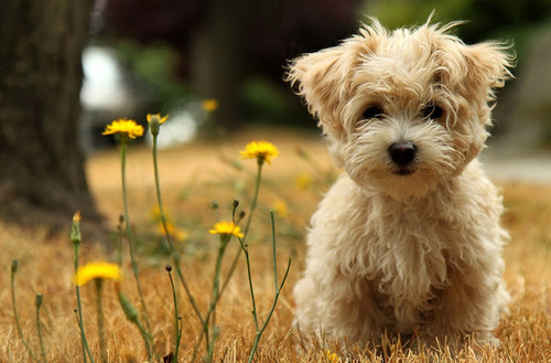 Cute_furry_little_puppy_playing_in_the_grass_and_some_flowers_too_photo_5_stars_phistars_worthy_large