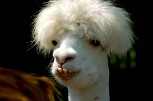 Funny-llama-01_large