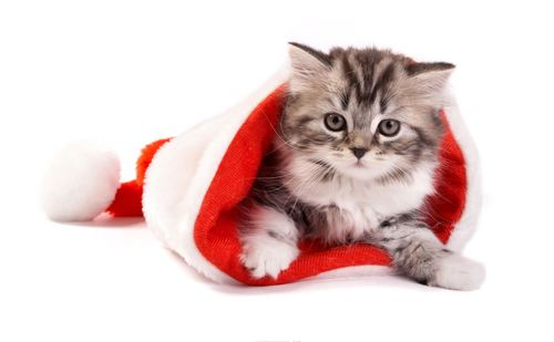 Cats-christmas-cards-holiday-animal_large