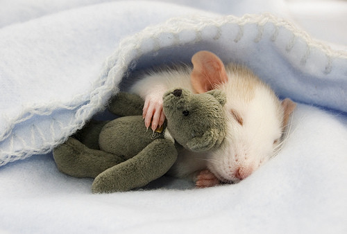 Rat,animal,cute,love,mouse,photo-71c59032099024f1e270bf09bc810db8_h_large