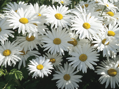 daisy  flower society provides information of different flowers types, Beautiful flower