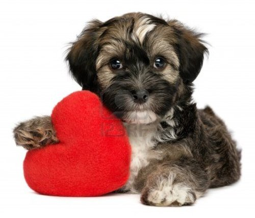 15328960 a cute lover valentine havanese male puppy dog is holding a red heart isolated on white b large cute puppy havanese   Google Search