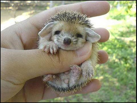 cute hedgehog2 large Cute hedgehog   Daily Cuteness