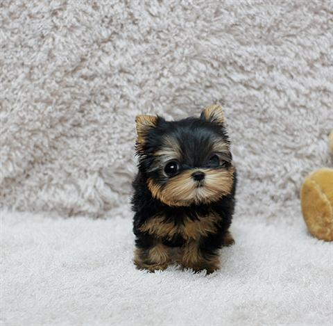 101404-yorkshire-terrier-image1_large