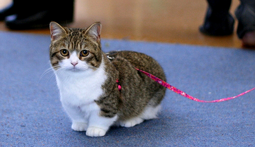 Munchkin Cat Breed Information Characteristics and Price large The Munchkin Cat, Breed, Information, Characteristics and Price