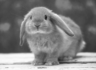 Rabbit_large