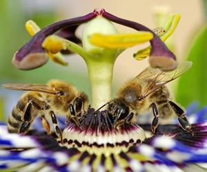 bees on a passion flower