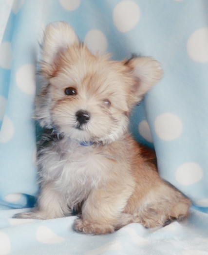 Morkie Pictures, Images & Photos | Photobucket