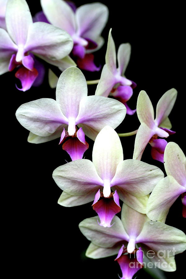 pink purple and white phalanopsis orchid flower . d, Natural flower