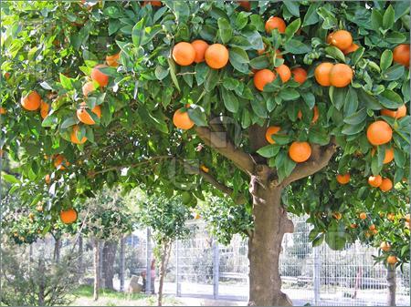Sour orange tree photoi we heart it orange and orange tree
