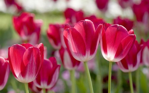 Wallpapers-tulips-spring-flower-images-desktop-general-flowers_large