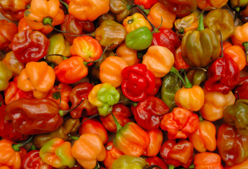 Scotch-bonnet-peppers21_large
