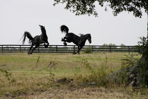 Friesians_bucking_large