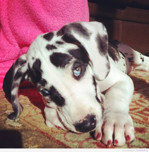 great dane puppy e1366026945307 large Great Dane Puppy | CuteStuff.co   Cute Animals, Cute Pictures, Cute Videos and MORE!