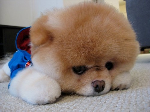 Introducing Boo The Cutest Pomeranian Dog in the World ...