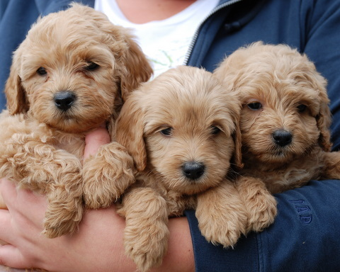Labradoodle-puppies_large