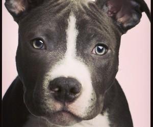 Pit bull | <3