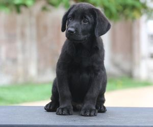 labradors are the best