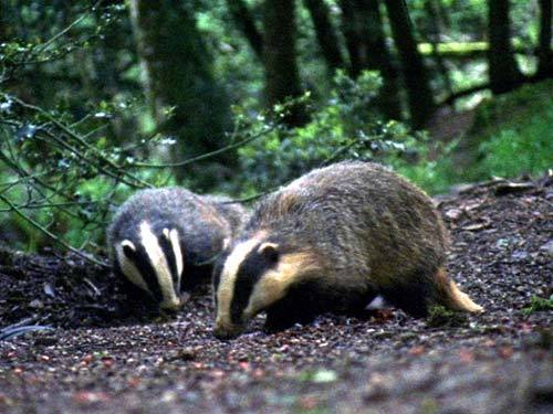 1295_badgers_nobislands32_large