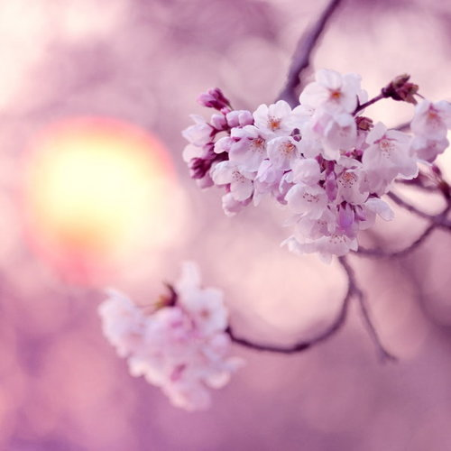 Sakura_f_perfect_by_jyoujo-d39vy98_large