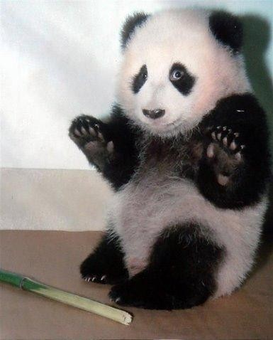 Its-not-me-panda-fun-animals-funny-animals_large_large